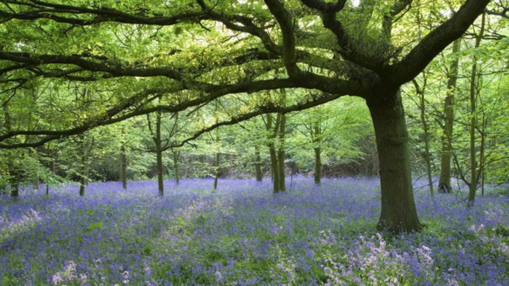 Photograph of bluebell woods from the National Trust